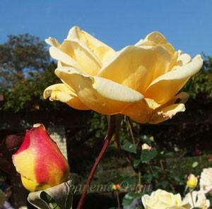 レディ ヒリンドンは早咲きで花もちは普通