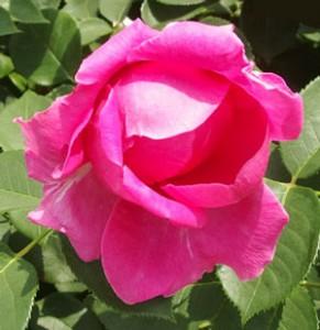 レディ オブ メギンチはローズピンク色のロゼット咲き