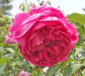 レディ オブ メギンチはロゼット咲きの大輪サイズ