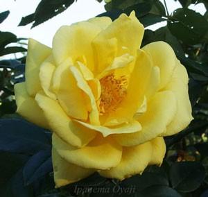 ランドラの花形は剣弁高芯咲きです