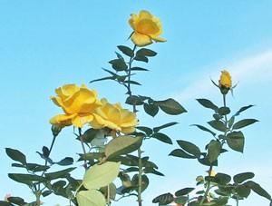ランドラは枝が真っ直ぐに伸長してトゲの少ない品種
