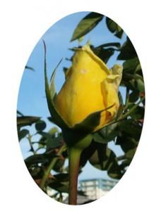 ランドラは70年代に最も人気のあった黄色系の品種