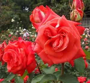 ローラは半剣弁高芯咲きの花形