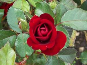 ラバグルートは丸弁咲きのバラ