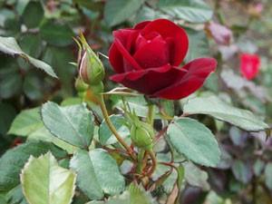 ラバグルートは深みのある黒赤色のバラ