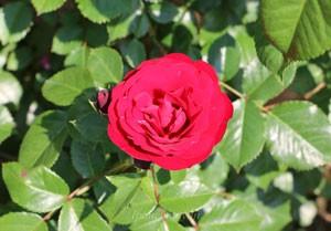ラバグルート抱え咲きの中輪サイズ