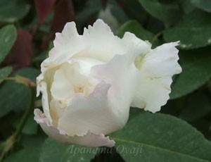 ル ブランはフロリバンダ系統の白色の花