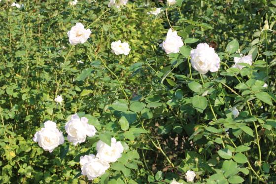 ル ブランは数輪の房咲きになり花つきがよい品種