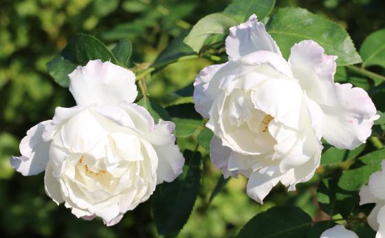 ル ブランの花形は丸弁咲きです