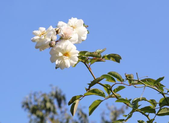 ル ブランは枝は細くてしなやかでトゲが多いバラ