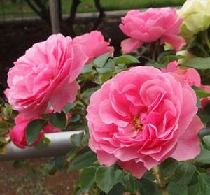 フランスのMeilland 作出のバラ