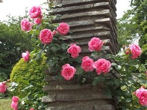 レオナルド ダ ビンチは病気に強く育てやすいバラ