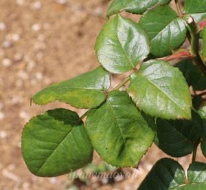 葉は大きくて明緑色で光沢のある照り葉です