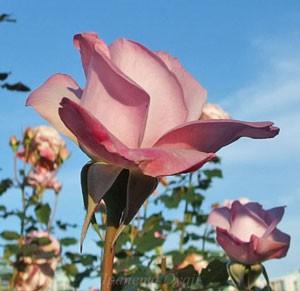 ライラック ビューティは丸弁高芯咲きの花弁です