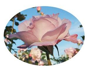ライラック ビューティは1~3輪の房咲きになります