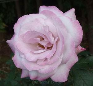 ライラック ビューティはライラックピンク色の生地に赤みがかった藤色が調和