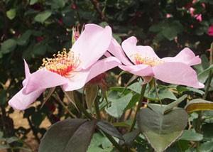 ライラック チャームは一重咲きで花径が6cm位です