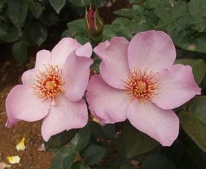 ライラック チャームはフロリバンダ系統のバラ