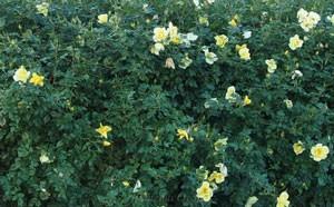 リモンチェッロはシュラブ樹形の横張りタイプ