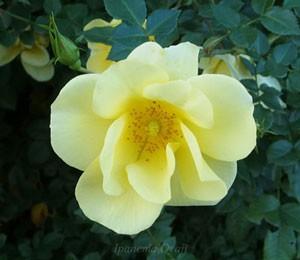 リモンチェッロはシュラブ系統のバラ
