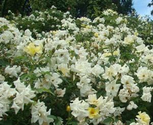 リモンチェッロは花径4cm程の小輪花をさかせます