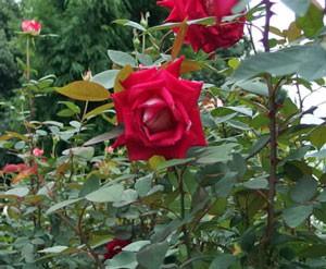 ラブは数輪の房咲きになり花つきがよい品種です