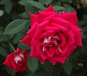 ラブは赤色系の剣弁高芯咲きで中輪サイズです
