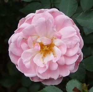 ラブリーメイアンはh四季咲き性のバラ