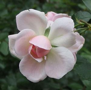 ラブリーメイアンは開花すると外弁が反り返ります