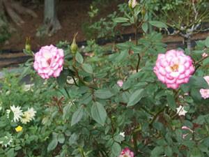 リュータンはベーサル・シュート以外の枝にはあまり花をつけません