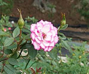 リュータンの花径は約3cmの小輪サイズです