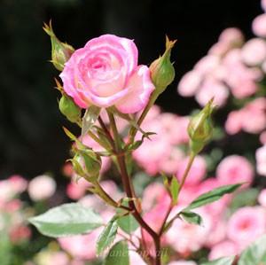 リュータンの花形は丸弁平咲きで星形をしています