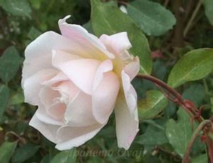 マダム ブラヴィは白色にみえるが実はウッスラとピンクがかっています