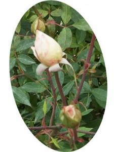 マダム ブラヴィは房咲きになり花つきはよい品種です