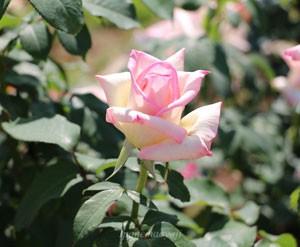 マダム ヒデは一枝に1輪咲きだが、花つきはよい