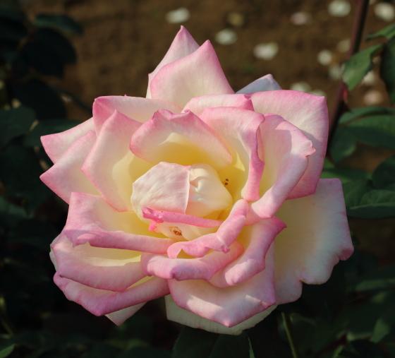 マダム ヒデの花径は約12cmの大輪花です
