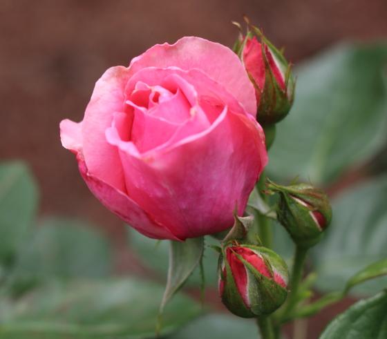 マガリの花色はコーラルピンク色です