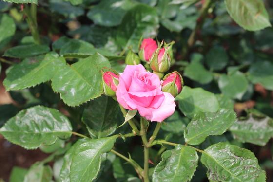 マガリは3~5輪の房咲きになる