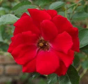マイナーフェアーの花径は約7cmの中輪花