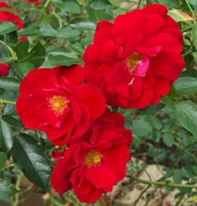 マイナーフェアーの花形は丸弁平咲き