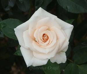 マジョリカの花色は淡い桃色の上品な色合いです