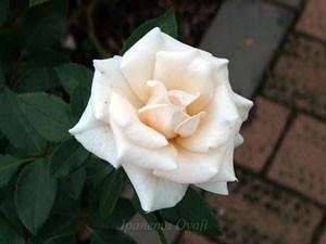 マジョリカの花形は半剣弁高芯咲きです