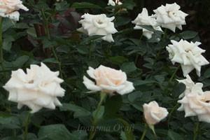 マジョリカは数輪の房咲きになり、花つきがよい