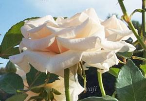 マジョリカは花枝が長く切り花に適しています
