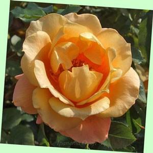 万葉の花色はアプリコットカラーからオレンジ色へ変わります