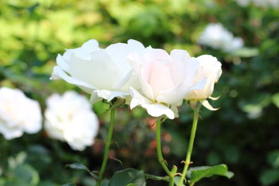 マーガレット メリルの花弁は弁端が軽く波打ちます