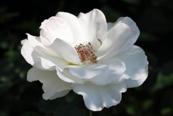 マーガレット メリルの花芯は開花するとむき出しになります