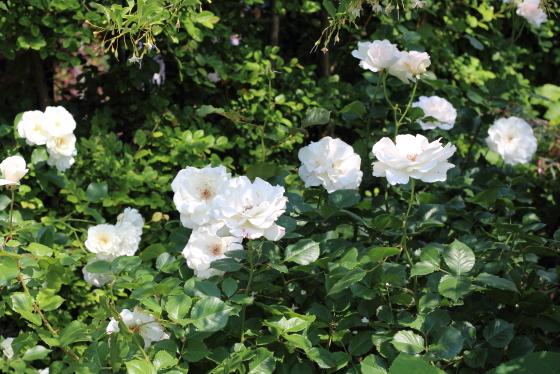 マーガレット メリルは数輪の房咲きになります