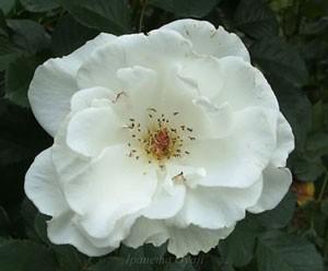 マーガレット メリルはフロリバンダ系統のバラです