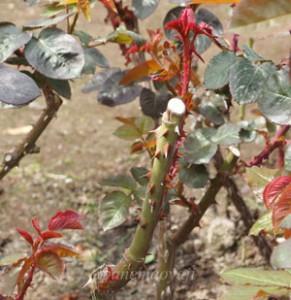 マリア カラスの樹高は約150cmです
